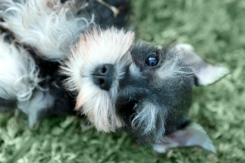 Miniature Schnauzer small fluffy dog breed